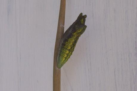 Chrysalis - swallowtail