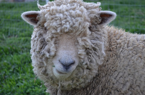 Old English Southdown